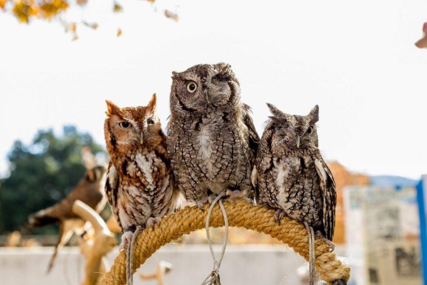 screech-owls-1517177_1280